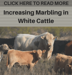 http://www.nebraskacharolais.org/increasing-marbling-in-white-cattle/